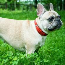 French Bulldog Dog Breed Info